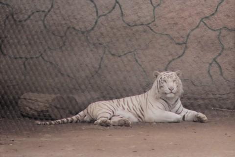 14_tigrebengala