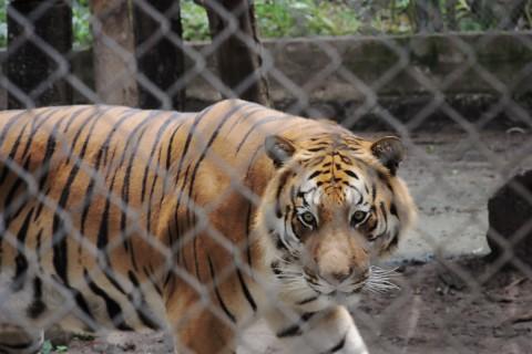 Tigredebengala