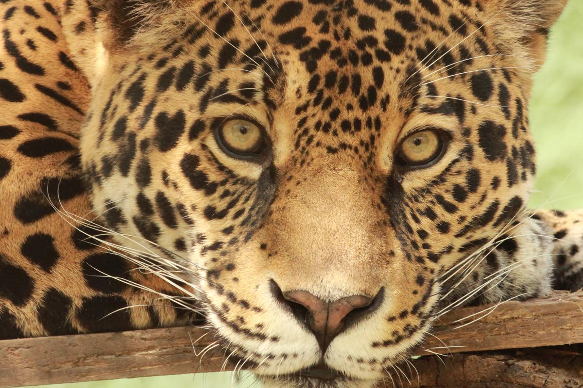 Jaguar Africano